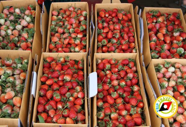สถานที่ท่องเที่ยวหน้าหนาว ไร่สตรอว์เบอรี่ Strawberry  เชียงใหม่ (12)