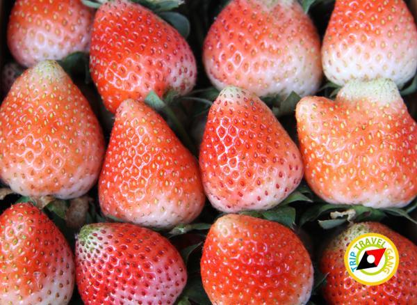 สถานที่ท่องเที่ยวหน้าหนาว ไร่สตรอว์เบอรี่ Strawberry  เชียงใหม่ (14)