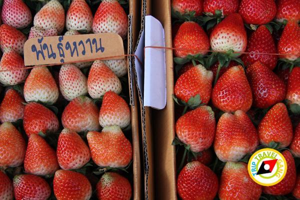 สถานที่ท่องเที่ยวหน้าหนาว ไร่สตรอว์เบอรี่ Strawberry  เชียงใหม่ (15)