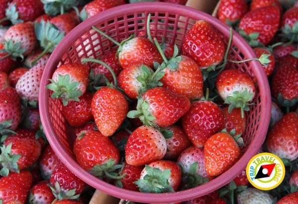 สถานที่ท่องเที่ยวหน้าหนาว ไร่สตรอว์เบอรี่ Strawberry  เชียงใหม่ (17)