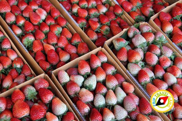 สถานที่ท่องเที่ยวหน้าหนาว ไร่สตรอว์เบอรี่ Strawberry  เชียงใหม่ (18)