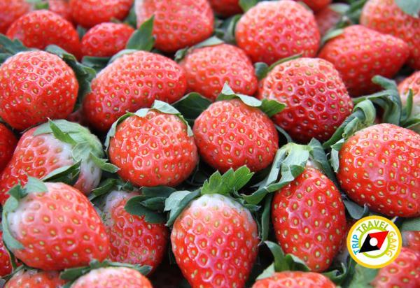 สถานที่ท่องเที่ยวหน้าหนาว ไร่สตรอว์เบอรี่ Strawberry  เชียงใหม่ (26)
