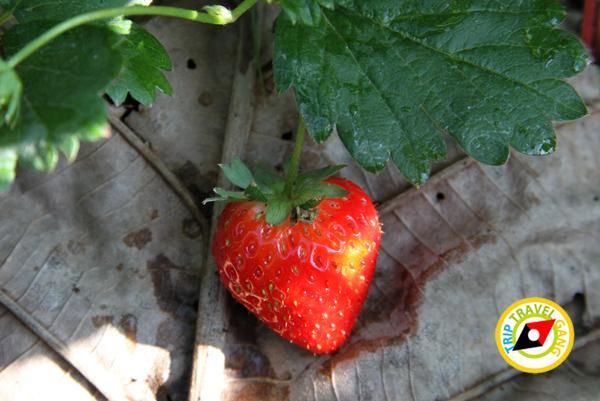 สถานที่ท่องเที่ยวหน้าหนาว ไร่สตรอว์เบอรี่ Strawberry  เชียงใหม่ (32)