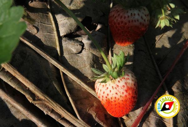 สถานที่ท่องเที่ยวหน้าหนาว ไร่สตรอว์เบอรี่ Strawberry  เชียงใหม่ (34)