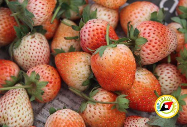 สถานที่ท่องเที่ยวหน้าหนาว ไร่สตรอว์เบอรี่ Strawberry  เชียงใหม่ (37)