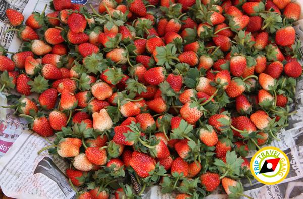สถานที่ท่องเที่ยวหน้าหนาว ไร่สตรอว์เบอรี่ Strawberry  เชียงใหม่ (39)