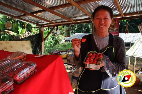 สถานที่ท่องเที่ยวหน้าหนาว ไร่สตรอว์เบอรี่ Strawberry  เชียงใหม่ (40)