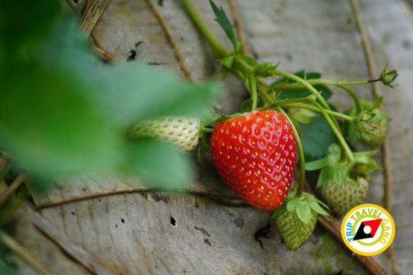 สถานที่ท่องเที่ยวหน้าหนาว ไร่สตรอว์เบอรี่ Strawberry  เชียงใหม่ (44)