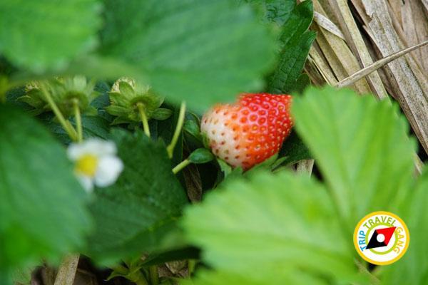 สถานที่ท่องเที่ยวหน้าหนาว ไร่สตรอว์เบอรี่ Strawberry  เชียงใหม่ (45)