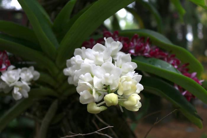 งานกล้วยไม้ ไม้ดอก ไม้ประดับ นครปฐม 60-3