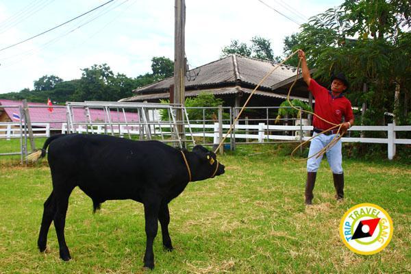 ฟาร์มโคนมไทย-เดนมาร์ค (อสค.) สระบุรี (11)