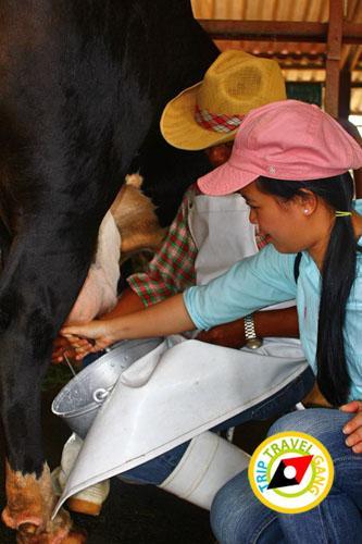 ฟาร์มโคนมไทย-เดนมาร์ค (อสค.) สระบุรี (8)