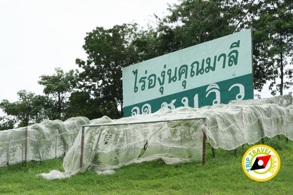 ไร่องุ่นคุณมาลี มวกเหล็ก สระบุรี Khun Malee Grape Farm (1)