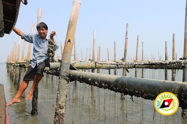 ท่องเที่ยวที่กินเพชรบุรี บางตะบูน บ้านแหลม งานเปิดโลกทะเลโคลน 2559 (4)