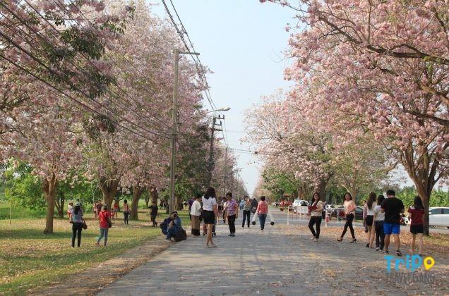 ชมพูพันธุ์ทิพย์ กําแพงแสน 2560-1