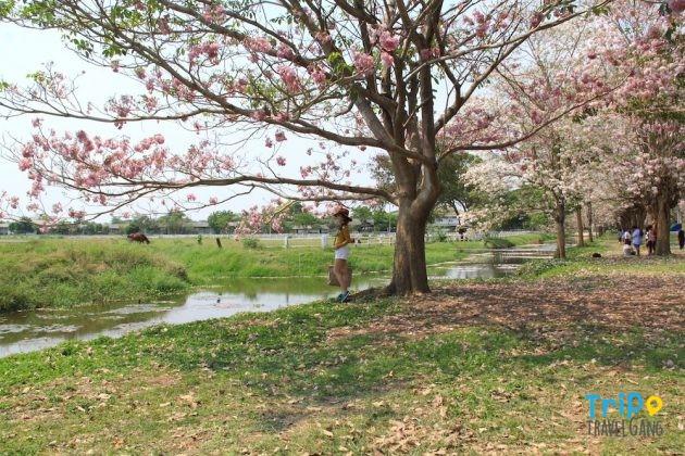 ชมพูพันธุ์ทิพย์ กําแพงแสน 2560-3
