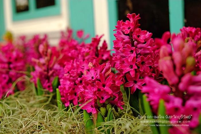 สมรสหวาน ยามทิวลิปบาน อุทยานไม้ดอก เพ ลา เพลิน บุรีรัมย์ 4