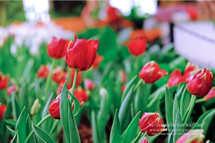 สมรสหวาน ยามทิวลิปบาน อุทยานไม้ดอก เพ ลา เพลิน บุรีรัมย์ 5