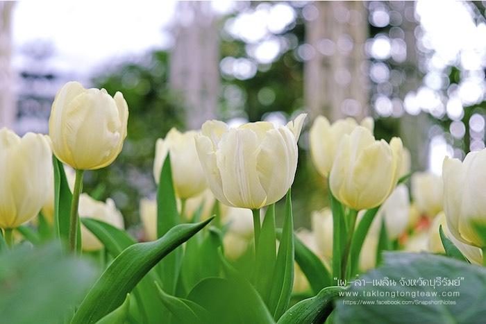 สมรสหวาน ยามทิวลิปบาน อุทยานไม้ดอก เพ ลา เพลิน บุรีรัมย์ 8